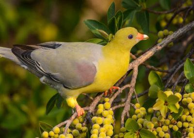 African Green Pigeon seen at Xaro Lodge