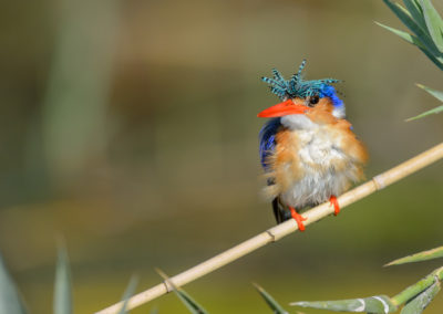 Malachite Kingfisher sighted at Xaro Lodge whilst on a birding trip