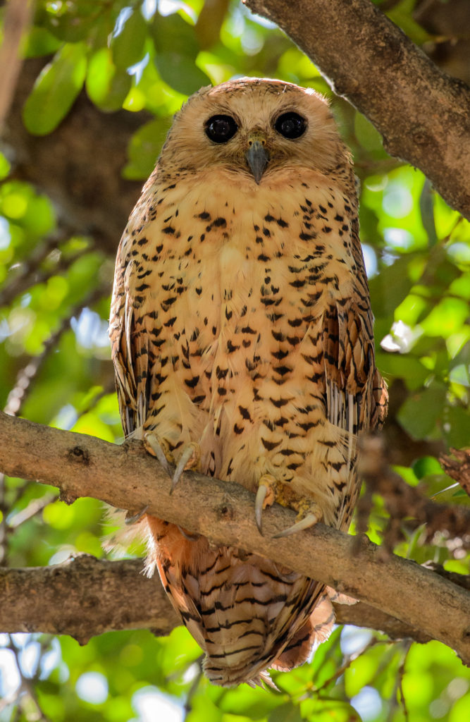 Xaro Lodge's resident Pel's Fishing Owl